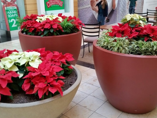 Poinsettias: have pet Toxins according to Veterianrians & the ASPCA